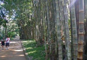 JardimGiantBamboo