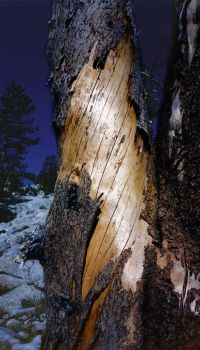 Yosemite tree  small