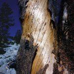 Yosemite tree  small
