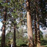 EdinburghSequoias