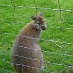 YorkshireWallaby
