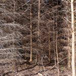 ChopwellTrees2