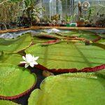 BotanicalLilies